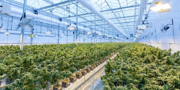 Les producteurs canadiens de cannabis dans la même situation boursière que GameStop
