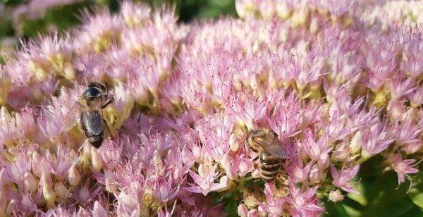 Le Canada renonce à interdire des pesticides «tueurs d'abeilles»