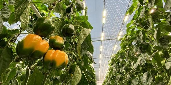 Sollum Technologies a mis au point une solution d'éclairage qui permet de cultiver à l'année longue, ici, en serre, une large variété de légumes