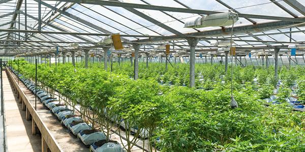 Les producteurs canadiens de cannabis se préparent à l'ouverture du marché américain