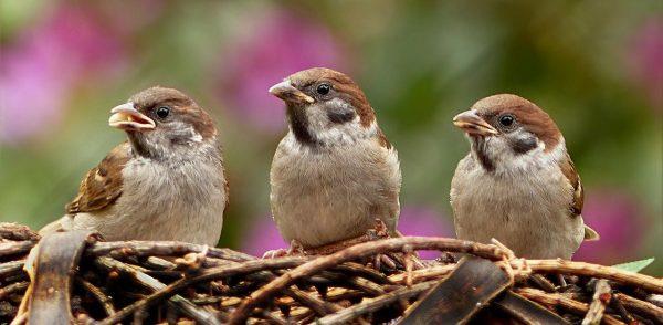 Le nombre d'oiseaux aurait fondu depuis vingt ans